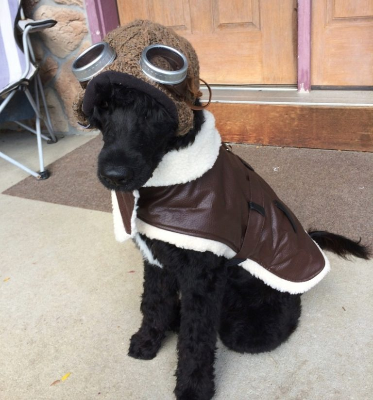 Portuguese Water Dog Dressed up as Fighter Pilot Holloween Costume