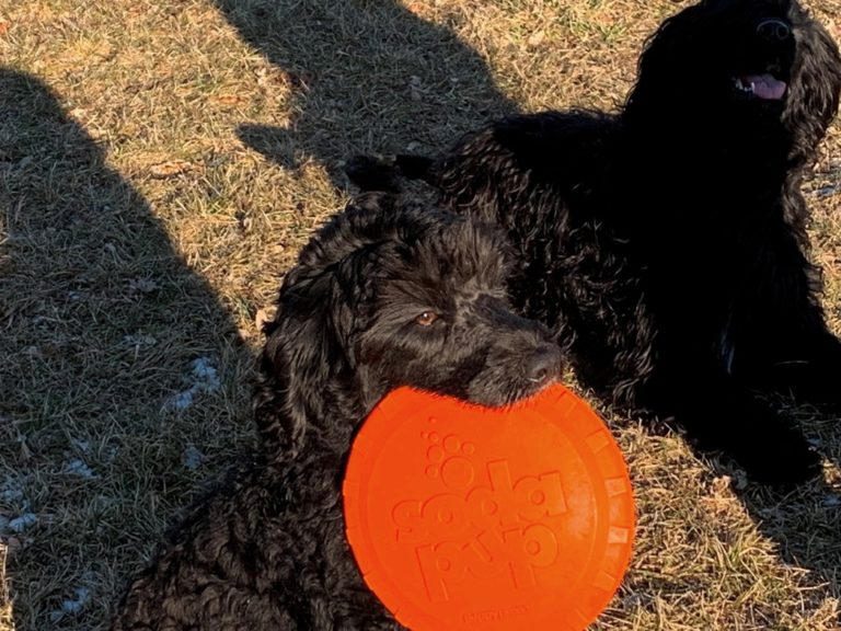 Portuguese Water Dogs Sitting and Holding Frisbee in Mouth
