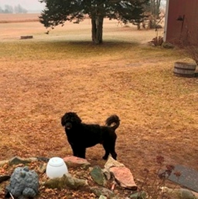 Portuguese Water Dog Standing in yard Sideview