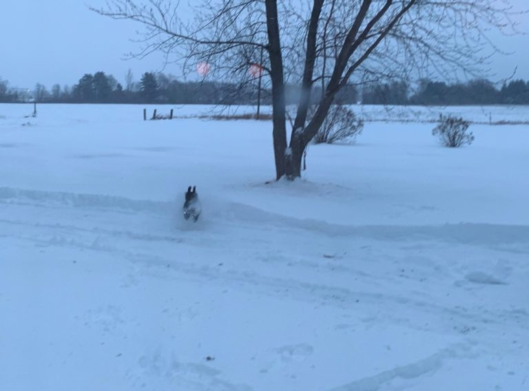 Portuguese Water Dogs running through Snow Drift