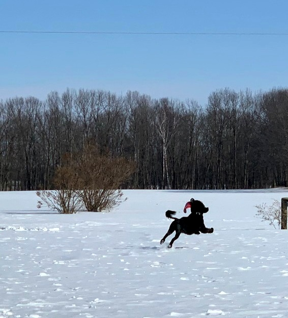 Portuguese Water Dog running in snow and catching frisbee in mid air