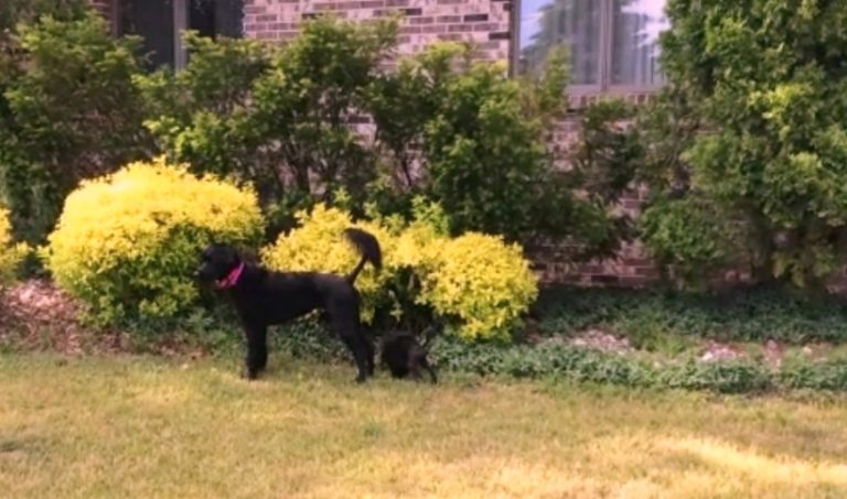 Portuguese Water Dogs Standing in Yard
