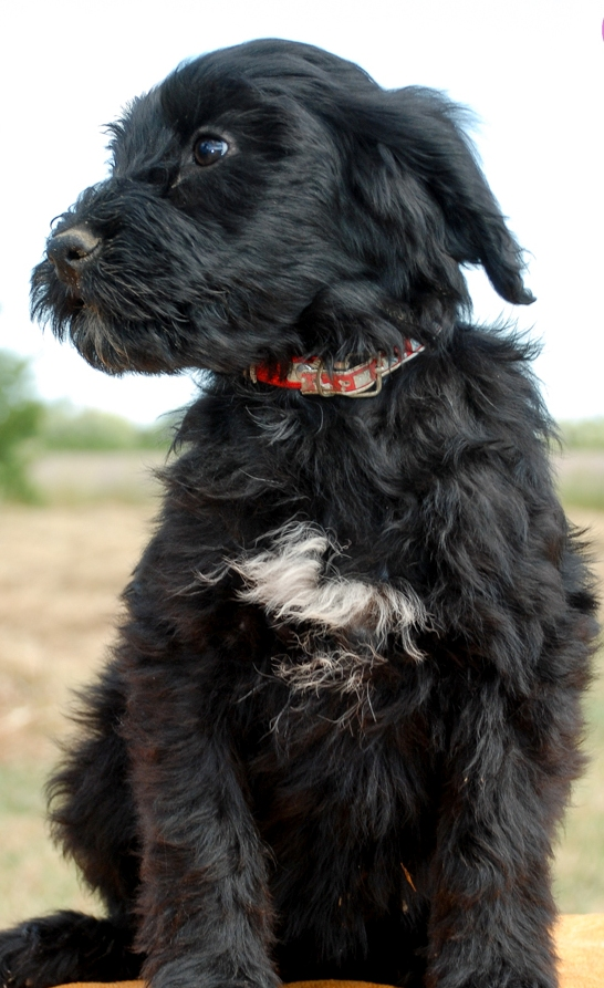 Front View Portuguese Water Dog baby