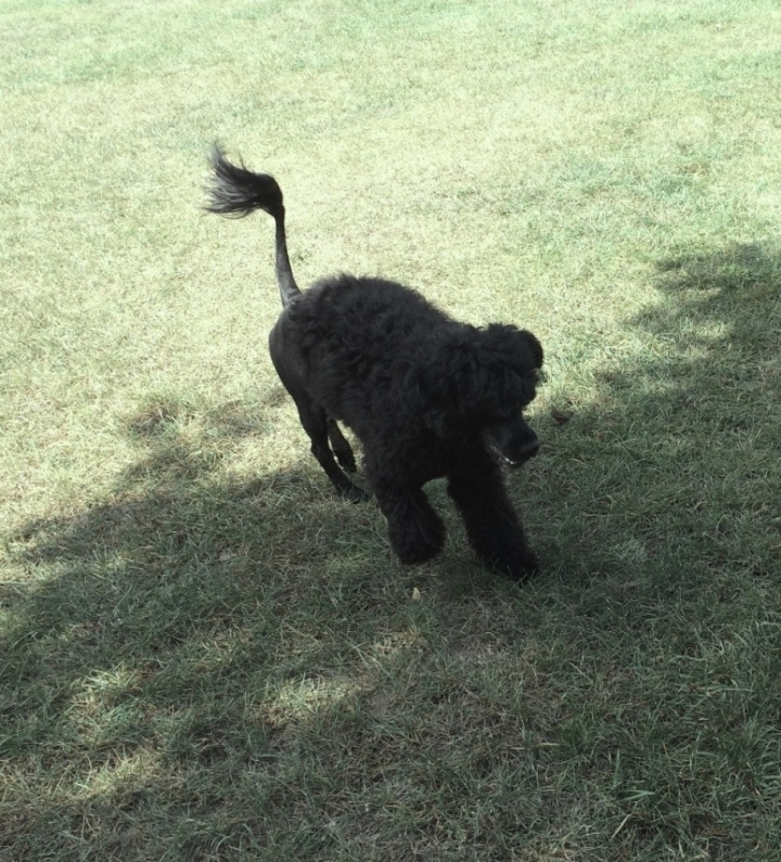 Portuguese Water Dog Chasing Butterflies