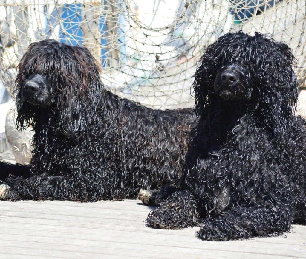 Two Portuguese Water Dogs sitting on Boat Deck