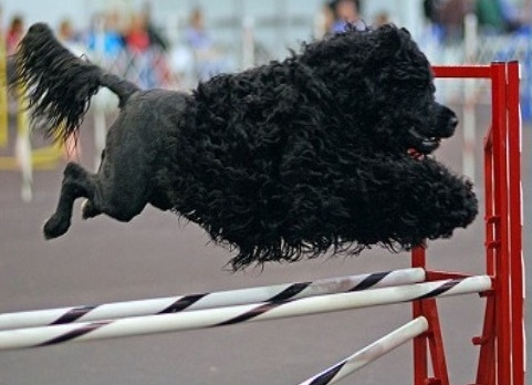 Portuguese Water Dog Running jumping over Agility Pole