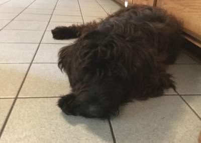 Portuguese Water Dog laying on kichen Tile