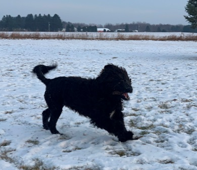 Jagger running in the snow
